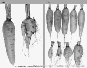 This photo depicts the apparent benefits of EDB fumigants. The smooth carrots were those grown in plots treated with EDB. Source: Cornell University
